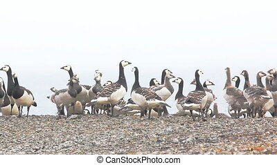 Barnacle goose worrying in front of camera in Arctic wilderness