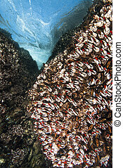 Barnacles on reef - An underwater scene of sharp gooseneck...