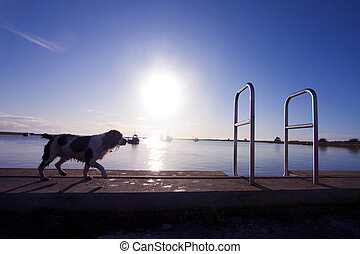 barney in blue - A wet spaniel walks along the quay at...