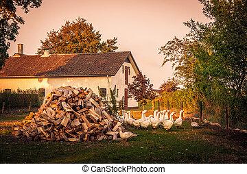 barnyard, com, um, rebanho gansos