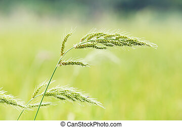 Barnyard grass - barnyard grass or echinochloa colona in ...