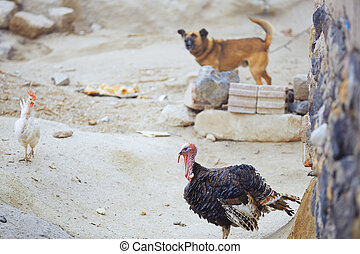 Barnyard in Turkish village with hen dog and turkey cock