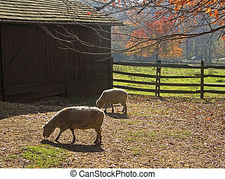 Barnyard Sheep - A couple of sheep in a Fall barnyard.