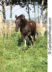 Barock pinto foal on pasturage - Barock pinto foal standing...