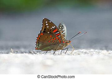 baron, voyant, commun, butterfly.