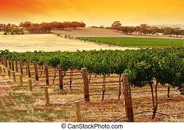 barossa, szőlőskert, napnyugta