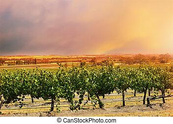 barossa, uva, file, valle, vines.