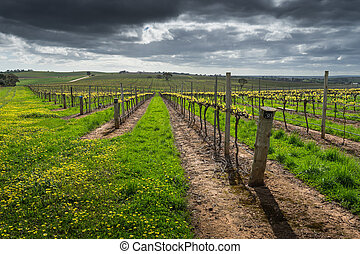 Barossa Valley Scene - Moody clouds over a vineyard in the ...