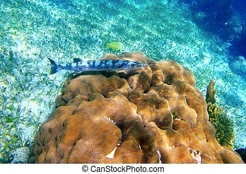Barracuda fish over coral reel in Mayan Riviera underwater