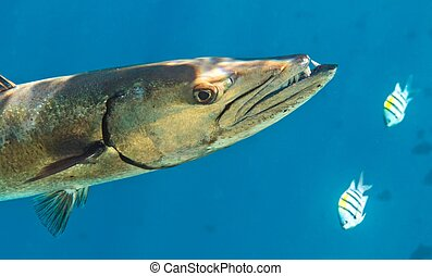 Barracuda is hunting  in The Indian Ocean, Maldives