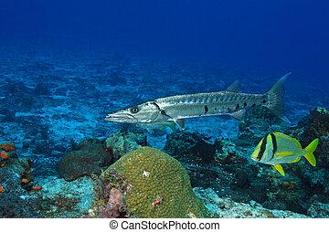 barracuda, porkfish, grande