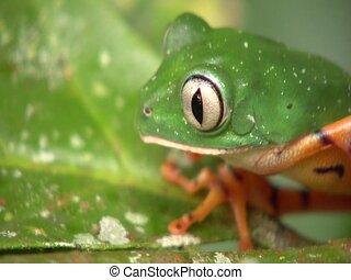 Barred Monkey Frog (Phyllomedusa tomopterna) - on a leaf in...