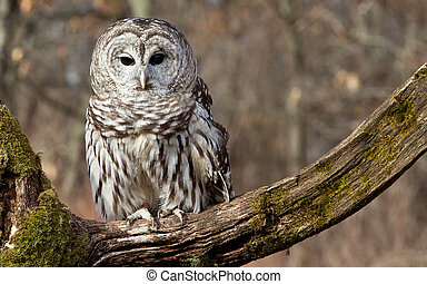 Barred Owl - Barred owl sits on a mossy branch in the ...