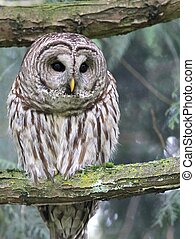 Barred Owl Looking Down - A Barred Owl looking down from its...