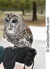 Barred Owl on Man\'s Hand