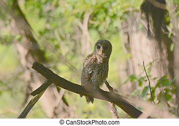 Barred Owlet In A Shaded Forest