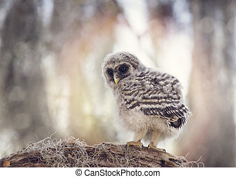 Barred Owlet on a Branch
