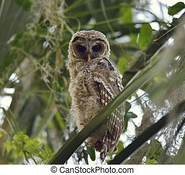 Barred Owlet Perches