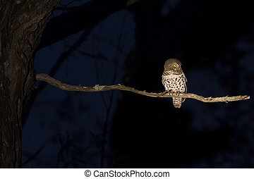 Barred owlet sitting on a branch in darkness