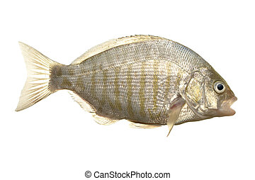 Barred surf perch - Fresh caught barred surf perch isolated ...