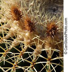 Barrel Cactus Flower
