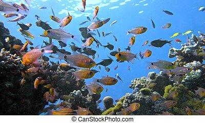 barrendero, coral, vanikoro, escuela, sea., arrecife, peces...
