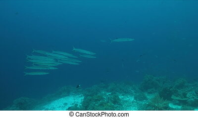 barrera coralina, 4k, barracudas