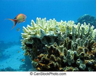 barrera coralina, con, coral duro, onn, el, fondo, de, mar rojo
