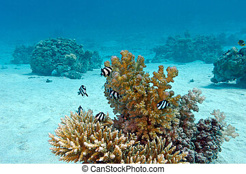 barrera coralina, con, coral duro, y, exótico, peces, blanco-atado, damselfish, en el fondo de, tropical, mar, en, agua azul, plano de fondo