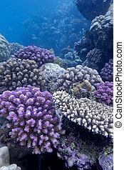 barrera coralina, con, duro, corales, en, el, fondo, de, mar rojo