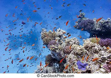 barrera coralina, con, suave, y, duro, corales, en, el, fondo, de, mar rojo, en, egipto