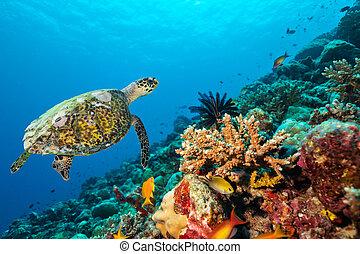 barrera coralina, con, tortuga