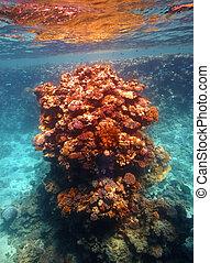 barrera coralina, en, mar rojo
