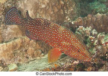 barrera coralina, grouper