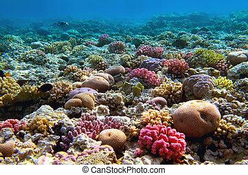 barrera coralina, mar rojo, egipto