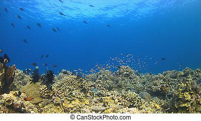 barrera coralina, pez, abundancia