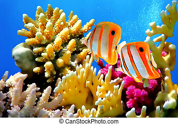 barrera coralina, y, copperband, butterflyfish