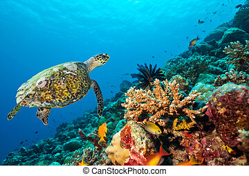 barriera corallina, con, tartaruga