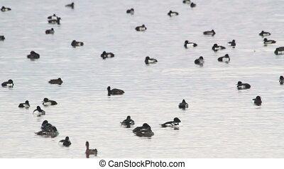 Barrow's goldeneye flock