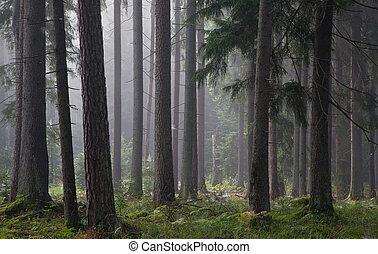 barrträds-, träd, mot, lätt, av, dimmig, soluppgång
