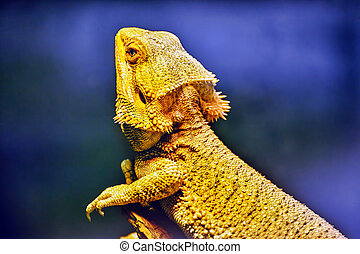 Bartagame animal , (Amphibolurus barbatus, Pogona barbatus)
