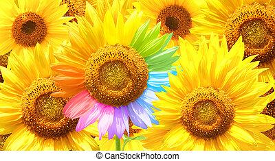 barwiony, różny, kolor, słonecznik