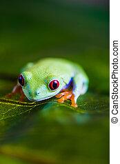barwny, egzotyczny, świat, żaba