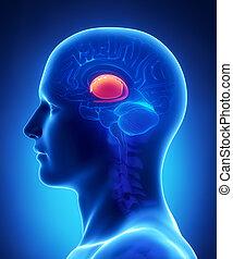 bas, avdelning, -, kors, anatomi, hjärna, gangli