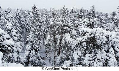 bas, branches, vue, neigeux, sur, chute neige, voler, stupéfiant, grand, 4k, mélangé, passé, forêt, pendant, hiver, snow., pins, aérien