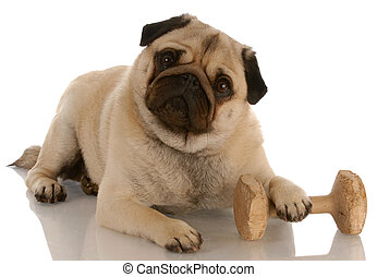 bas, -, carlin, pose, obéissance, chien, à côté de, dumbell