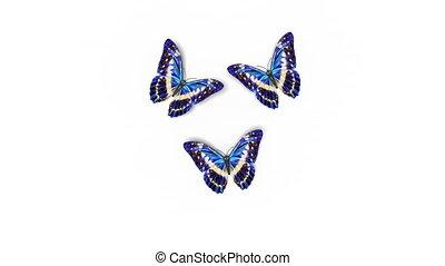 bas, coloré, close-up., beau, menelaus, 3d, blanc, hd, channel., vert, loop-able, bleu, animation, alpha, mouche, arrière-plans, away., papillons, morpho, ultra, asseoir, 3840x2160, 4k, écran