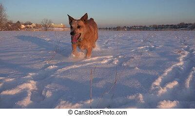 bas, courant, appareil photo, chien, neige