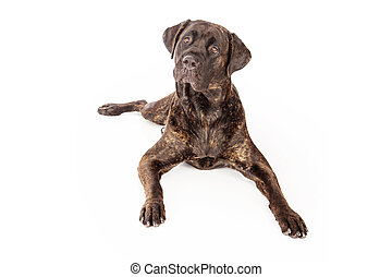 bas, pose, corso, canne, chien