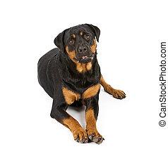 bas, rottweiler, pose, chien